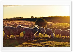 Sheeps In The Sun HD Wide Wallpaper for 4K UHD Widescreen desktop & smartphone