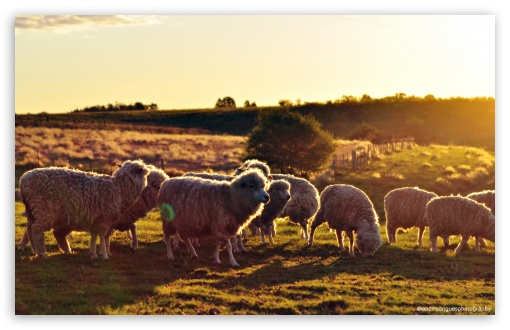 Sheeps In The Sun ❤ 4K UHD Wallpaper for Wide 16:10 5:3 Widescreen WHXGA WQXGA WUXGA WXGA WGA ; UltraWide 21:9 ; 4K UHD 16:9 Ultra High Definition 2160p 1440p 1080p 900p 720p ; Standard 4:3 5:4 3:2 Fullscreen UXGA XGA SVGA QSXGA SXGA DVGA HVGA HQVGA ( Apple PowerBook G4 iPhone 4 3G 3GS iPod Touch ) ; Smartphone 16:9 3:2 5:3 2160p 1440p 1080p 900p 720p DVGA HVGA HQVGA ( Apple PowerBook G4 iPhone 4 3G 3GS iPod Touch ) WGA ; iPad 1/2/Mini ; Mobile 4:3 5:3 3:2 16:9 5:4 - UXGA XGA SVGA WGA DVGA HVGA HQVGA ( Apple PowerBook G4 iPhone 4 3G 3GS iPod Touch ) 2160p 1440p 1080p 900p 720p QSXGA SXGA ;