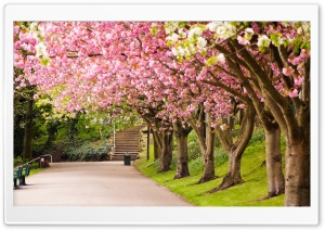 Sheffield England Park tree cherry blossom road alley in spring HD Wide Wallpaper for Widescreen