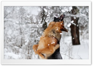 Shepherd Playing With Snow Ultra HD Wallpaper for 4K UHD Widescreen desktop, tablet & smartphone