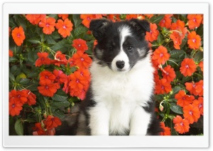 Shetland Sheepdog Puppy HD Wide Wallpaper for 4K UHD Widescreen desktop & smartphone