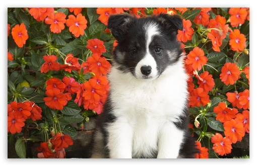 Shetland Sheepdog Puppy HD wallpaper for Standard 4:3 5:4 Fullscreen UXGA XGA SVGA QSXGA SXGA ; Wide 16:10 5:3 Widescreen WHXGA WQXGA WUXGA WXGA WGA ; HD 16:9 High Definition WQHD QWXGA 1080p 900p 720p QHD nHD ; Other 3:2 DVGA HVGA HQVGA devices ( Apple PowerBook G4 iPhone 4 3G 3GS iPod Touch ) ; Mobile VGA WVGA iPhone iPad PSP Phone - VGA QVGA Smartphone ( PocketPC GPS iPod Zune BlackBerry HTC Samsung LG Nokia Eten Asus ) WVGA WQVGA Smartphone ( HTC Samsung Sony Ericsson LG Vertu MIO ) HVGA Smartphone ( Apple iPhone iPod BlackBerry HTC Samsung Nokia ) Sony PSP Zune HD Zen ; Tablet 2 ;
