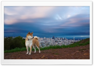 Shiba Inu HD Wide Wallpaper for Widescreen