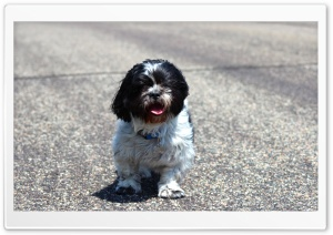 Shih Tzu HD Wide Wallpaper for Widescreen