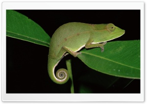 Short Nosed Chameleon At Night Mantadia National Park Madagascar HD Wide Wallpaper for Widescreen