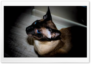 Siamese HD Wide Wallpaper for Widescreen