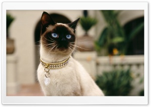 Siamese Cat HD Wide Wallpaper for Widescreen