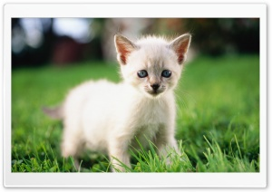 Siamese Kitty HD Wide Wallpaper for Widescreen
