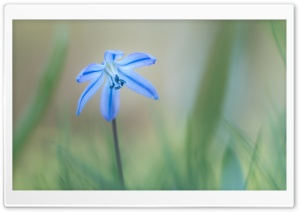 Siberian Squill, Early Spring Flower HD Wide Wallpaper for Widescreen