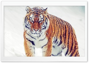 Siberian Tiger HD Wide Wallpaper for Widescreen