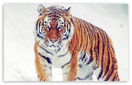 Siberian Tiger HD wallpaper for Wide 16:10 5:3 Widescreen WHXGA WQXGA WUXGA WXGA WGA ; HD 16:9 High Definition WQHD QWXGA 1080p 900p 720p QHD nHD ; Standard 4:3 5:4 3:2 Fullscreen UXGA XGA SVGA QSXGA SXGA DVGA HVGA HQVGA devices ( Apple PowerBook G4 iPhone 4 3G 3GS iPod Touch ) ; Tablet 1:1 ; iPad 1/2/Mini ; Mobile 4:3 5:3 3:2 16:9 5:4 - UXGA XGA SVGA WGA DVGA HVGA HQVGA devices ( Apple PowerBook G4 iPhone 4 3G 3GS iPod Touch ) WQHD QWXGA 1080p 900p 720p QHD nHD QSXGA SXGA ;