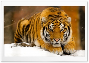 Siberian Tiger In Snow HD Wide Wallpaper for Widescreen