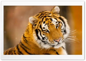 Siberian Tiger Wild Animal HD Wide Wallpaper for Widescreen