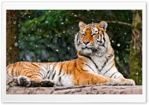 Siberian Tigress HD Wide Wallpaper for Widescreen