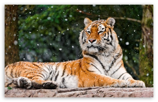 Siberian Tigress HD wallpaper for Wide 16:10 5:3 Widescreen WHXGA WQXGA WUXGA WXGA WGA ; HD 16:9 High Definition WQHD QWXGA 1080p 900p 720p QHD nHD ; Standard 4:3 5:4 Fullscreen UXGA XGA SVGA QSXGA SXGA ; MS 3:2 DVGA HVGA HQVGA devices ( Apple PowerBook G4 iPhone 4 3G 3GS iPod Touch ) ; Mobile VGA WVGA iPhone iPad PSP Phone - VGA QVGA Smartphone ( PocketPC GPS iPod Zune BlackBerry HTC Samsung LG Nokia Eten Asus ) WVGA WQVGA Smartphone ( HTC Samsung Sony Ericsson LG Vertu MIO ) HVGA Smartphone ( Apple iPhone iPod BlackBerry HTC Samsung Nokia ) Sony PSP Zune HD Zen ; Tablet 1&2 Android Retina ; Dual 4:3 5:4 16:10 5:3 16:9 UXGA XGA SVGA QSXGA SXGA WHXGA WQXGA WUXGA WXGA WGA WQHD QWXGA 1080p 900p 720p QHD nHD ;