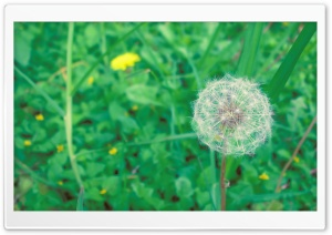 Simple Dandelion HD Wide Wallpaper for Widescreen