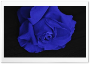 Single Blue Rose HD Wide Wallpaper for Widescreen