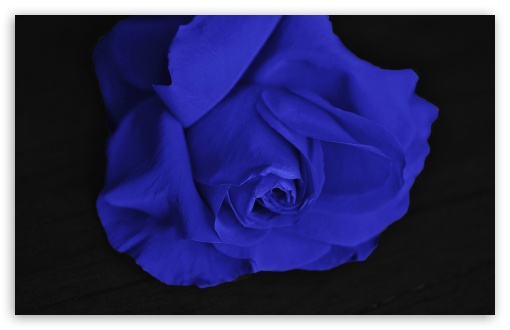 Single Blue Rose HD wallpaper for Wide 16:10 5:3 Widescreen WHXGA WQXGA WUXGA WXGA WGA ; HD 16:9 High Definition WQHD QWXGA 1080p 900p 720p QHD nHD ; UHD 16:9 WQHD QWXGA 1080p 900p 720p QHD nHD ; Standard 4:3 5:4 3:2 Fullscreen UXGA XGA SVGA QSXGA SXGA DVGA HVGA HQVGA devices ( Apple PowerBook G4 iPhone 4 3G 3GS iPod Touch ) ; Smartphone 5:3 WGA ; Tablet 1:1 ; iPad 1/2/Mini ; Mobile 4:3 5:3 3:2 16:9 5:4 - UXGA XGA SVGA WGA DVGA HVGA HQVGA devices ( Apple PowerBook G4 iPhone 4 3G 3GS iPod Touch ) WQHD QWXGA 1080p 900p 720p QHD nHD QSXGA SXGA ; Dual 16:10 5:3 16:9 4:3 5:4 WHXGA WQXGA WUXGA WXGA WGA WQHD QWXGA 1080p 900p 720p QHD nHD UXGA XGA SVGA QSXGA SXGA ;