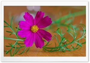 Single Cosmos Flower Ultra HD Wallpaper for 4K UHD Widescreen desktop, tablet & smartphone