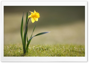 Single Daffodil HD Wide Wallpaper for 4K UHD Widescreen desktop & smartphone