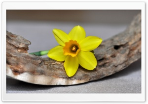 Single Daffodil HD Wide Wallpaper for Widescreen
