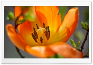 Single Orange Tulip HD Wide Wallpaper for Widescreen