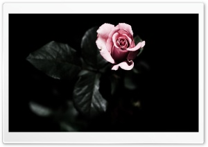 Single Pink Rose HD Wide Wallpaper for Widescreen