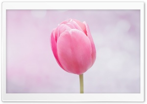 Single Pink Tulip HD Wide Wallpaper for Widescreen