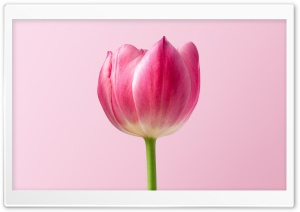 Single Pink Tulip Spring Flower, Pink Background HD Wide Wallpaper for 4K UHD Widescreen desktop & smartphone