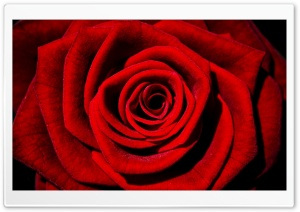 Single Red Rose HD Wide Wallpaper for Widescreen
