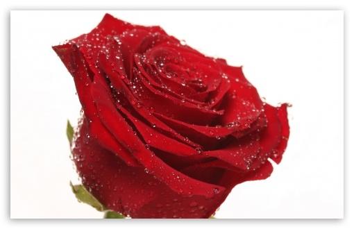 Single Red Rose Covered In Water Droplets 4k Hd Desktop Wallpaper