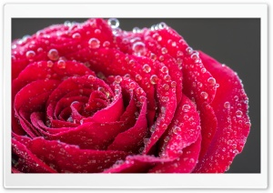Single Red Rose with Water Drops HD Wide Wallpaper for Widescreen