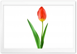 Single Red Tulip HD Wide Wallpaper for Widescreen