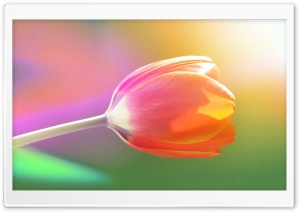 Single Tulip HD Wide Wallpaper for Widescreen