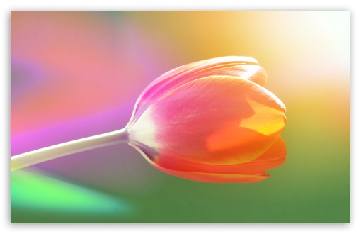 Single Tulip HD wallpaper for Wide 16:10 5:3 Widescreen WHXGA WQXGA WUXGA WXGA WGA ; HD 16:9 High Definition WQHD QWXGA 1080p 900p 720p QHD nHD ; Standard 4:3 5:4 3:2 Fullscreen UXGA XGA SVGA QSXGA SXGA DVGA HVGA HQVGA devices ( Apple PowerBook G4 iPhone 4 3G 3GS iPod Touch ) ; Tablet 1:1 ; iPad 1/2/Mini ; Mobile 4:3 5:3 3:2 16:9 5:4 - UXGA XGA SVGA WGA DVGA HVGA HQVGA devices ( Apple PowerBook G4 iPhone 4 3G 3GS iPod Touch ) WQHD QWXGA 1080p 900p 720p QHD nHD QSXGA SXGA ; Dual 16:10 5:3 4:3 5:4 WHXGA WQXGA WUXGA WXGA WGA UXGA XGA SVGA QSXGA SXGA ;