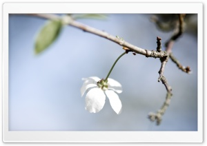Single White Cherry Flower HD Wide Wallpaper for Widescreen