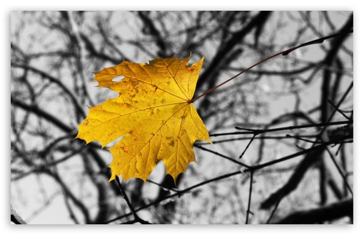 Single Yellow Leaf HD wallpaper for Wide 16:10 5:3 Widescreen WHXGA WQXGA WUXGA WXGA WGA ; HD 16:9 High Definition WQHD QWXGA 1080p 900p 720p QHD nHD ; Standard 4:3 5:4 3:2 Fullscreen UXGA XGA SVGA QSXGA SXGA DVGA HVGA HQVGA devices ( Apple PowerBook G4 iPhone 4 3G 3GS iPod Touch ) ; Tablet 1:1 ; iPad 1/2/Mini ; Mobile 4:3 5:3 3:2 16:9 5:4 - UXGA XGA SVGA WGA DVGA HVGA HQVGA devices ( Apple PowerBook G4 iPhone 4 3G 3GS iPod Touch ) WQHD QWXGA 1080p 900p 720p QHD nHD QSXGA SXGA ; Dual 5:4 QSXGA SXGA ;