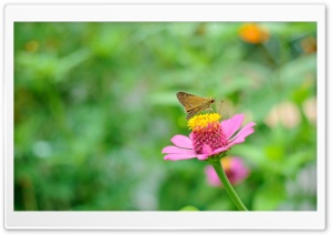 Skipper Butterfly HD Wide Wallpaper for Widescreen