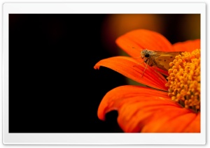 Skipper Moth HD Wide Wallpaper for Widescreen