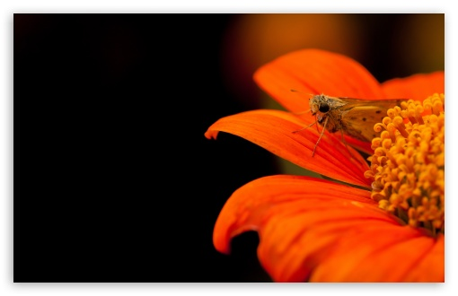 Skipper Moth ❤ 4K UHD Wallpaper for Wide 16:10 5:3 Widescreen WHXGA WQXGA WUXGA WXGA WGA ; UltraWide 21:9 24:10 ; 4K UHD 16:9 Ultra High Definition 2160p 1440p 1080p 900p 720p ; UHD 16:9 2160p 1440p 1080p 900p 720p ; Standard 4:3 5:4 3:2 Fullscreen UXGA XGA SVGA QSXGA SXGA DVGA HVGA HQVGA ( Apple PowerBook G4 iPhone 4 3G 3GS iPod Touch ) ; Smartphone 16:9 3:2 5:3 2160p 1440p 1080p 900p 720p DVGA HVGA HQVGA ( Apple PowerBook G4 iPhone 4 3G 3GS iPod Touch ) WGA ; Tablet 1:1 ; iPad 1/2/Mini ; Mobile 4:3 5:3 3:2 16:9 5:4 - UXGA XGA SVGA WGA DVGA HVGA HQVGA ( Apple PowerBook G4 iPhone 4 3G 3GS iPod Touch ) 2160p 1440p 1080p 900p 720p QSXGA SXGA ; Dual 16:10 5:3 16:9 4:3 5:4 3:2 WHXGA WQXGA WUXGA WXGA WGA 2160p 1440p 1080p 900p 720p UXGA XGA SVGA QSXGA SXGA DVGA HVGA HQVGA ( Apple PowerBook G4 iPhone 4 3G 3GS iPod Touch ) ; Triple 16:10 5:3 16:9 4:3 5:4 3:2 WHXGA WQXGA WUXGA WXGA WGA 2160p 1440p 1080p 900p 720p UXGA XGA SVGA QSXGA SXGA DVGA HVGA HQVGA ( Apple PowerBook G4 iPhone 4 3G 3GS iPod Touch ) ;