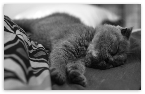 Sleeping Cat HD wallpaper for Wide 16:10 5:3 Widescreen WHXGA WQXGA WUXGA WXGA WGA ; HD 16:9 High Definition WQHD QWXGA 1080p 900p 720p QHD nHD ; Standard 4:3 5:4 3:2 Fullscreen UXGA XGA SVGA QSXGA SXGA DVGA HVGA HQVGA devices ( Apple PowerBook G4 iPhone 4 3G 3GS iPod Touch ) ; iPad 1/2/Mini ; Mobile 4:3 5:3 3:2 5:4 - UXGA XGA SVGA WGA DVGA HVGA HQVGA devices ( Apple PowerBook G4 iPhone 4 3G 3GS iPod Touch ) QSXGA SXGA ;
