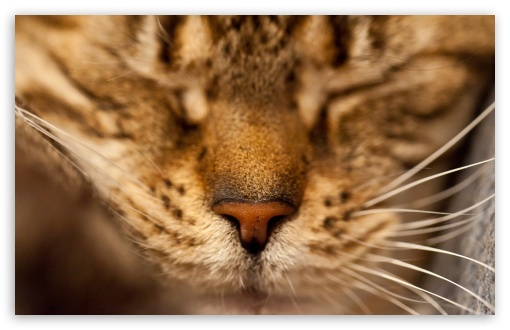 Sleeping Cat Portrait HD wallpaper for Wide 16:10 5:3 Widescreen WHXGA WQXGA WUXGA WXGA WGA ; HD 16:9 High Definition WQHD QWXGA 1080p 900p 720p QHD nHD ; Standard 3:2 Fullscreen DVGA HVGA HQVGA devices ( Apple PowerBook G4 iPhone 4 3G 3GS iPod Touch ) ; Mobile 5:3 3:2 16:9 - WGA DVGA HVGA HQVGA devices ( Apple PowerBook G4 iPhone 4 3G 3GS iPod Touch ) WQHD QWXGA 1080p 900p 720p QHD nHD ;