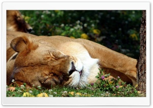 Sleeping Female Lion HD Wide Wallpaper for Widescreen