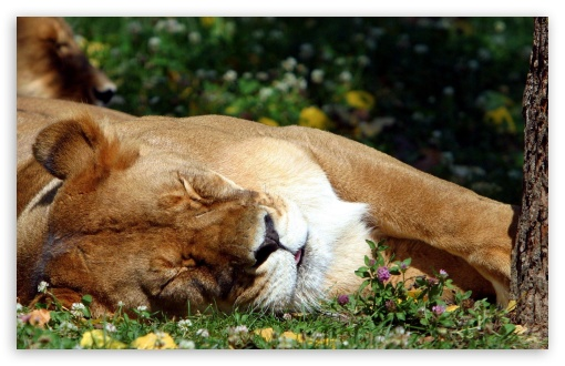 Sleeping Female Lion UltraHD Wallpaper for Wide 16:10 5:3 Widescreen WHXGA WQXGA WUXGA WXGA WGA ; 8K UHD TV 16:9 Ultra High Definition 2160p 1440p 1080p 900p 720p ; Standard 3:2 Fullscreen DVGA HVGA HQVGA ( Apple PowerBook G4 iPhone 4 3G 3GS iPod Touch ) ; Mobile 5:3 3:2 16:9 - WGA DVGA HVGA HQVGA ( Apple PowerBook G4 iPhone 4 3G 3GS iPod Touch ) 2160p 1440p 1080p 900p 720p ;