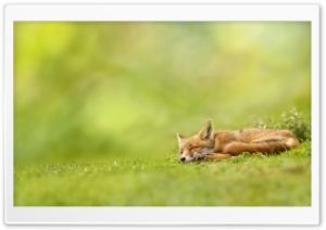 Sleeping Fox HD Wide Wallpaper for Widescreen