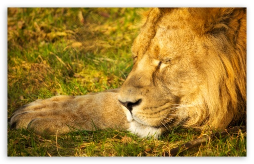 Sleeping Lion HD wallpaper for Wide 16:10 5:3 Widescreen WHXGA WQXGA WUXGA WXGA WGA ; HD 16:9 High Definition WQHD QWXGA 1080p 900p 720p QHD nHD ; Standard 4:3 5:4 3:2 Fullscreen UXGA XGA SVGA QSXGA SXGA DVGA HVGA HQVGA devices ( Apple PowerBook G4 iPhone 4 3G 3GS iPod Touch ) ; iPad 1/2/Mini ; Mobile 4:3 5:3 3:2 16:9 5:4 - UXGA XGA SVGA WGA DVGA HVGA HQVGA devices ( Apple PowerBook G4 iPhone 4 3G 3GS iPod Touch ) WQHD QWXGA 1080p 900p 720p QHD nHD QSXGA SXGA ;