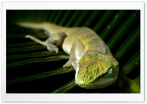 Sleeping Lizzard HD Wide Wallpaper for Widescreen