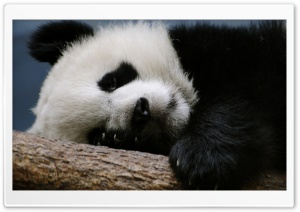 Sleeping Panda HD Wide Wallpaper for Widescreen