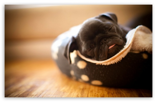 Sleeping Pug Puppy HD wallpaper for Wide 16:10 5:3 Widescreen WHXGA WQXGA WUXGA WXGA WGA ; HD 16:9 High Definition WQHD QWXGA 1080p 900p 720p QHD nHD ; Standard 4:3 5:4 3:2 Fullscreen UXGA XGA SVGA QSXGA SXGA DVGA HVGA HQVGA devices ( Apple PowerBook G4 iPhone 4 3G 3GS iPod Touch ) ; Tablet 1:1 ; iPad 1/2/Mini ; Mobile 4:3 5:3 3:2 16:9 5:4 - UXGA XGA SVGA WGA DVGA HVGA HQVGA devices ( Apple PowerBook G4 iPhone 4 3G 3GS iPod Touch ) WQHD QWXGA 1080p 900p 720p QHD nHD QSXGA SXGA ;