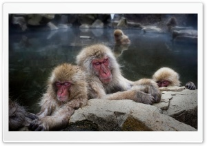 Sleeping Snow Monkeys HD Wide Wallpaper for Widescreen